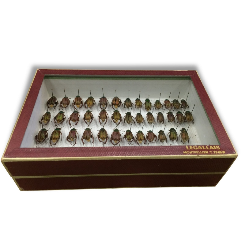 Cadre insectes taxidermie